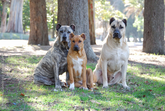 Uruguayan Cimarron Dog: Uruguayan Breed