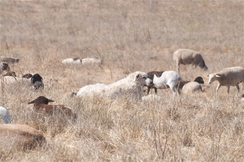 Vanjari Hound Dog: Vanjari Akbashdog Breed