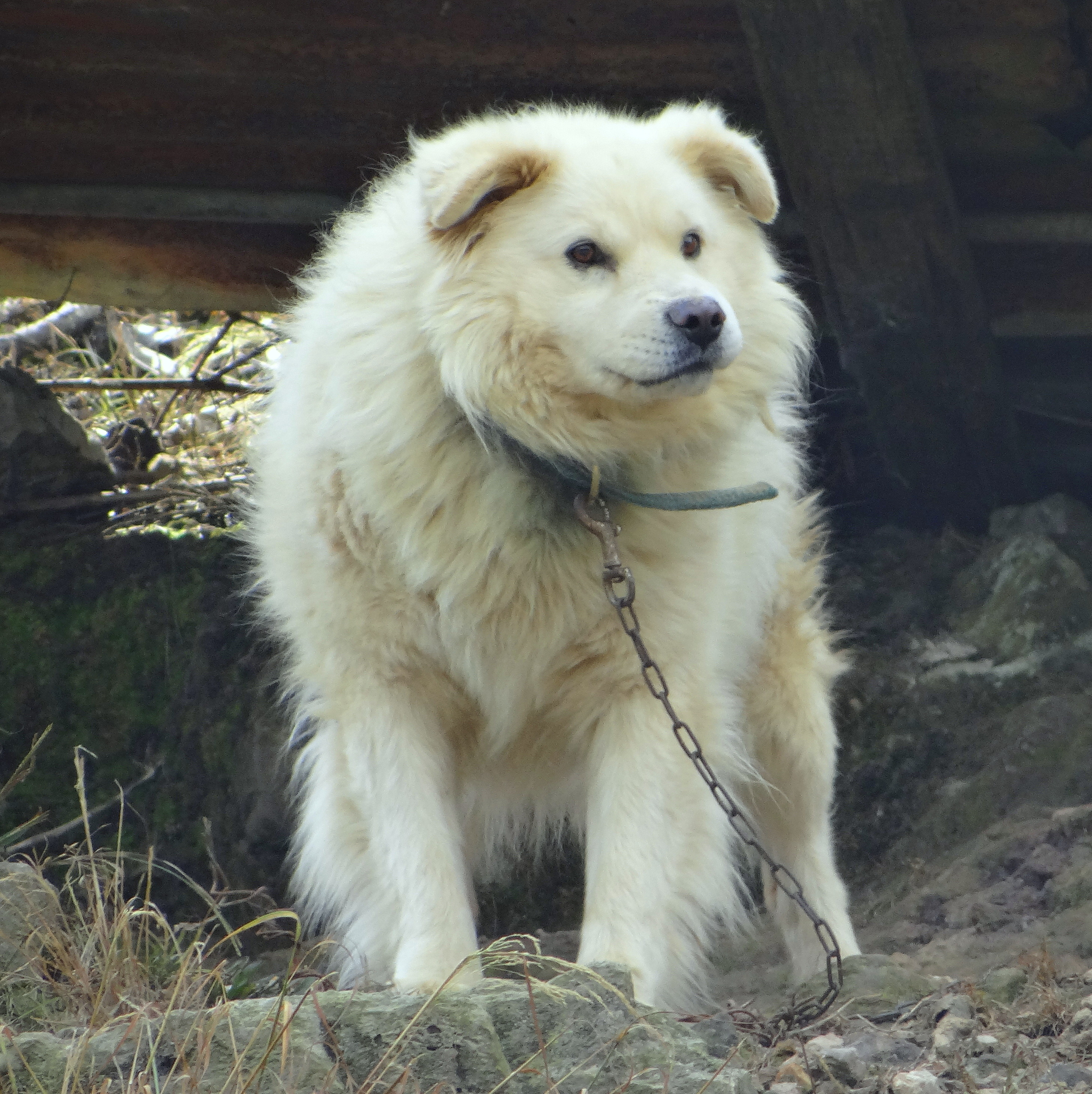 Vanjari Hound Puppies: Vanjari File Lagotto Romagnolo Jpg Wikimedia Commons Breed