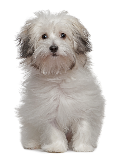 Vanjari Hound Puppies: Vanjari Picture Of Array Gampr Genuinely Armenian Dog Set Panarmenian Breed