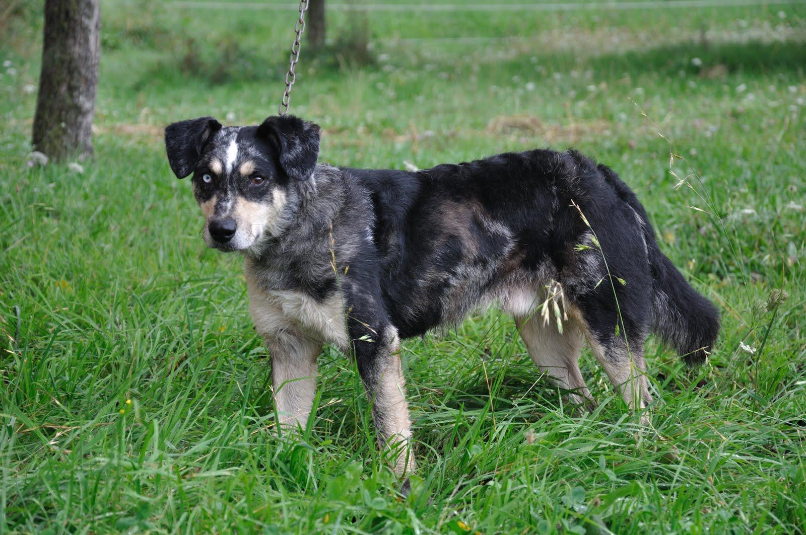 Vanjari Hound Puppies: Vanjari Picture Of Array Leerburg Setaria The Cereal Dog Killer Breed