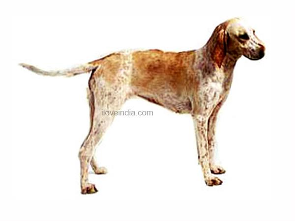 Vanjari Hound Puppies: Vanjari Picture Of Array Rottweiler Dog Nursing Royalty Free Stock Breed
