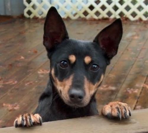 Vanjari Hound Puppies: Vanjari The Rat Terrier Breed