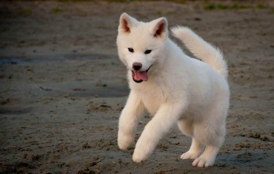 Cute Akita Inu Puppies: Very Cute White Akita Inu Puppy Jumping Puppies Breed