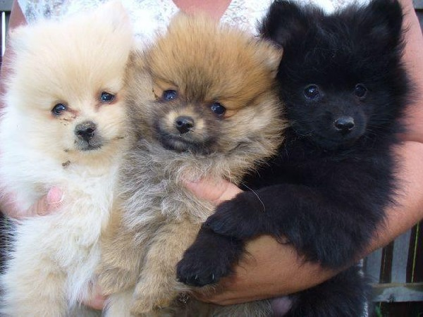 Volpino Italiano Puppies: Volpino Reserve Your Akc Registerd Pomeranian Puppies Breed