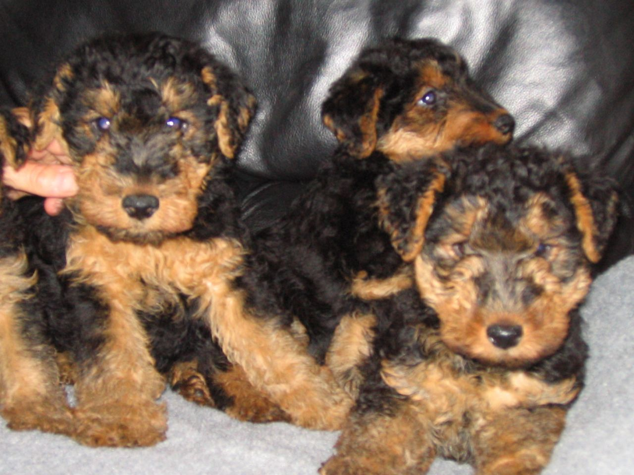 Welsh Terrier Puppies: Welsh Beautiful Welsh Terrier Puppies Chester Breed