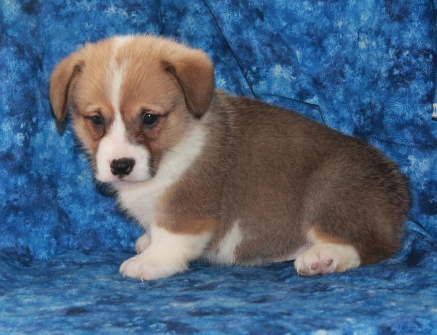 Welsh Corgi, Pembroke Puppies: Welsh Intelligent Welsh Corgi Pembroke Puppies Breed