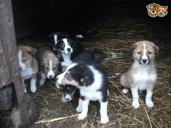 Welsh Sheepdog Puppies: Welsh Welsh Collie Sheepdog Puppies For Sale Llanidloes Breed