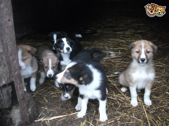 Welsh Sheepdog Puppies Puppy Dog Gallery