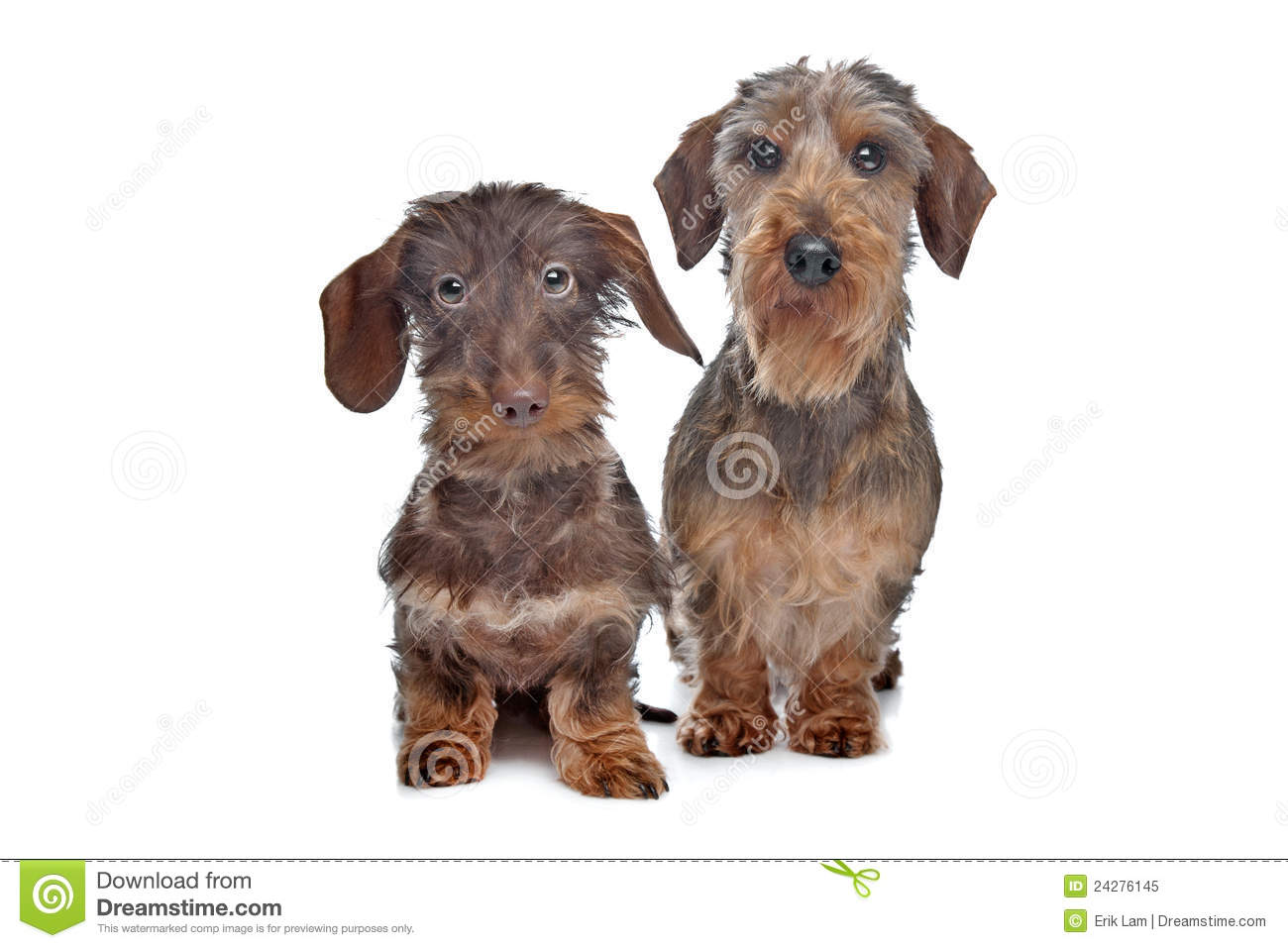 Westphalian Dachsbracke Dog: Westphalian Dachshund Dog Royalty Free Stock Graphy Breed