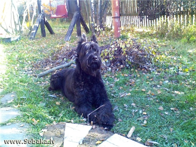 Westphalian Dachsbracke Dog: Westphalian Danish Dachsbracke Breed