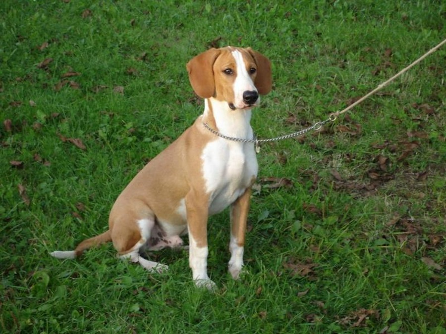 Westphalian Dachsbracke Dog: Westphalian Posavac Hound Breed