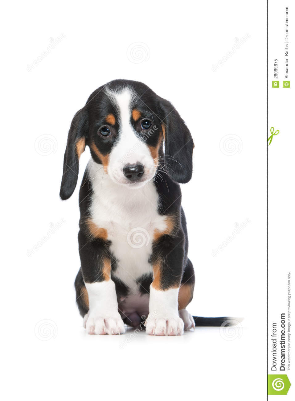Westphalian Dachsbracke Dog: Westphalian Royalty Free Stock Dachshund Puppy Westphalian Dachsbracke Breed