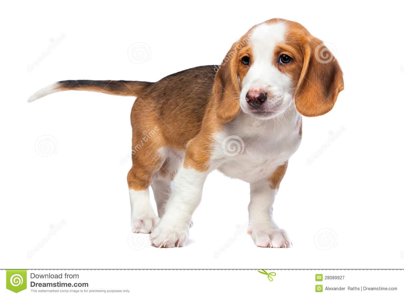 Westphalian Dachsbracke Puppies: Westphalian Royalty Free Stock Graphy Dachshund Puppy Westphalian Dachsbracke Breed