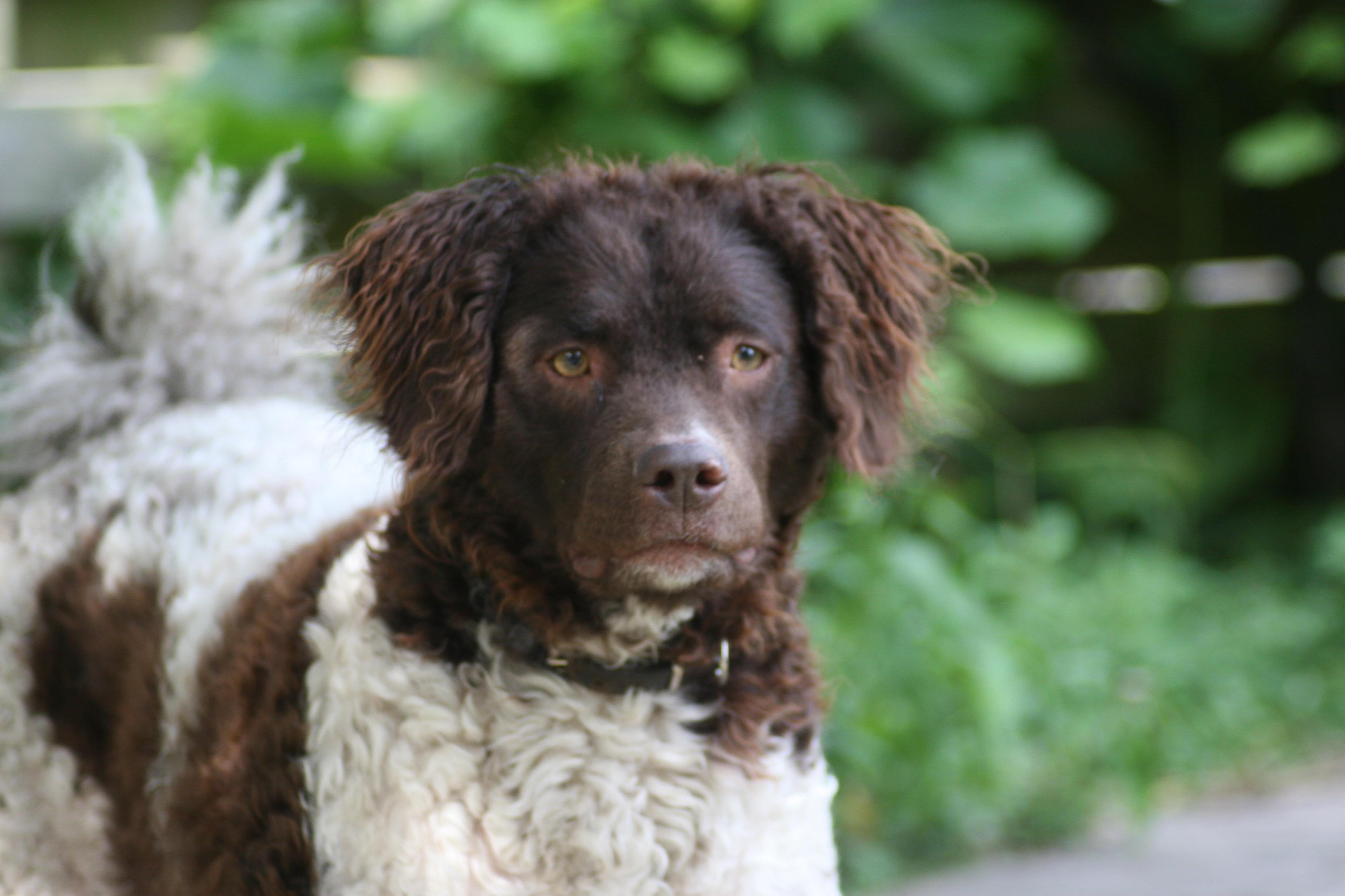 Wetterhoun Dog: Wetterhoun Beautiful Wetterhoun Dog Breed