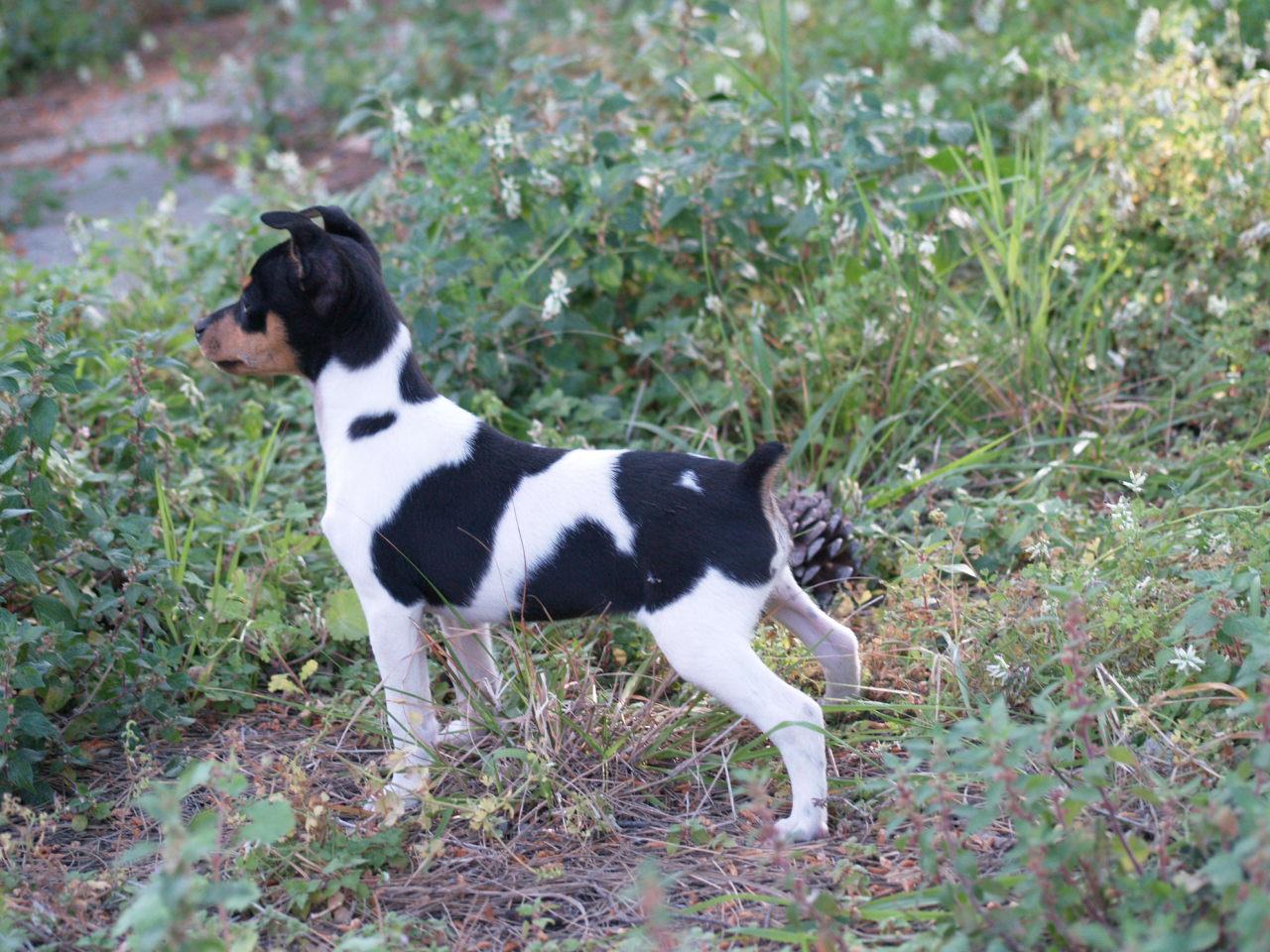 Ratonero Valenciano Dog: White And Black Ratonero Valenciano Dog Breed