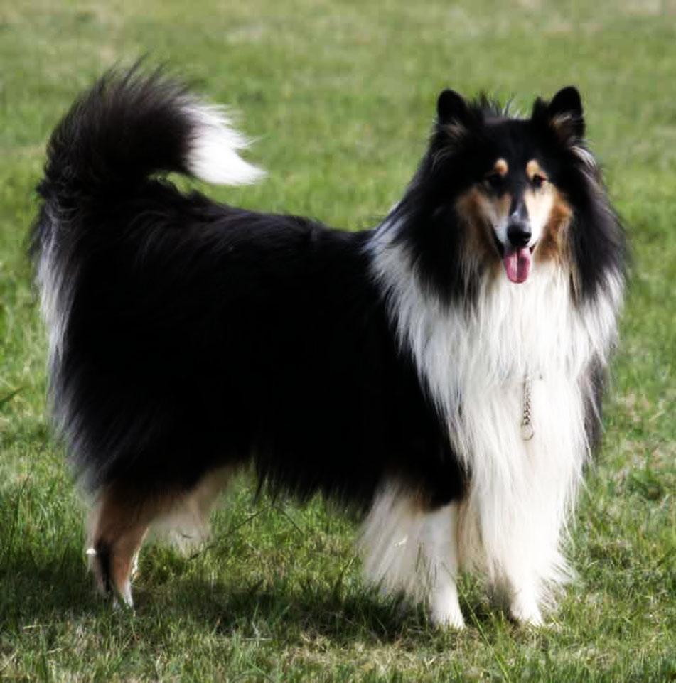 Scotch Collie Dog: White And Black Scotch Collie Dog Breed