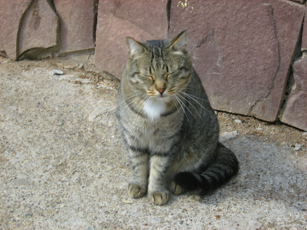 Russian Tabby Cat: White Collar Tabby Cat Part Two Breed