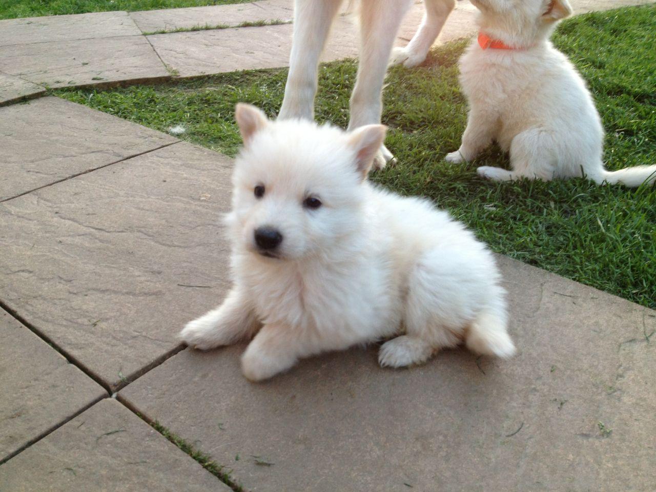 Dogo Cubano Puppies: White German Shepherd Puppies For Sale Blackwood Breed