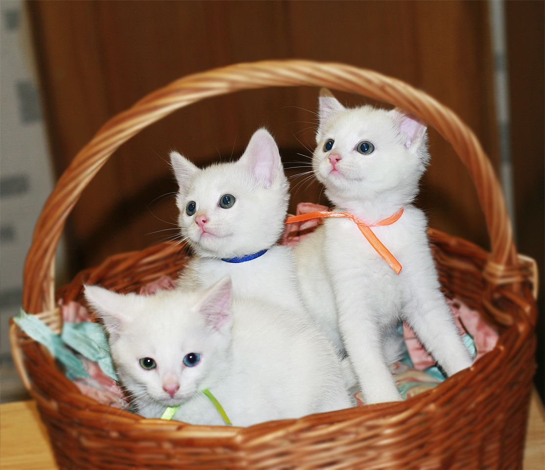 Khao Manee Kitten: White Odd Eyed Khao Manee Kittens For Sale Ilford Breed