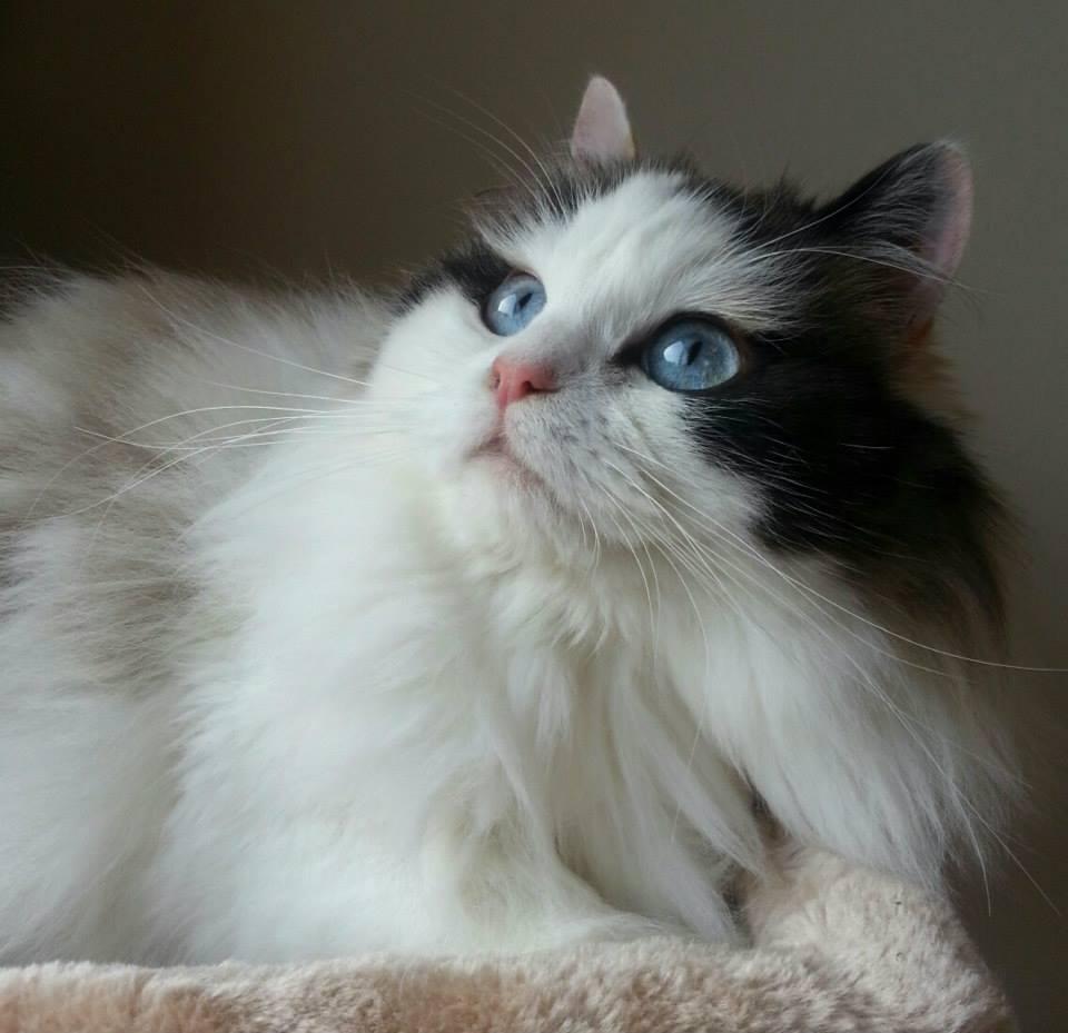 Ragamuffin Cat: White Ragamuffin Cat Ragamuffin Kittens Ragamuffin Breed