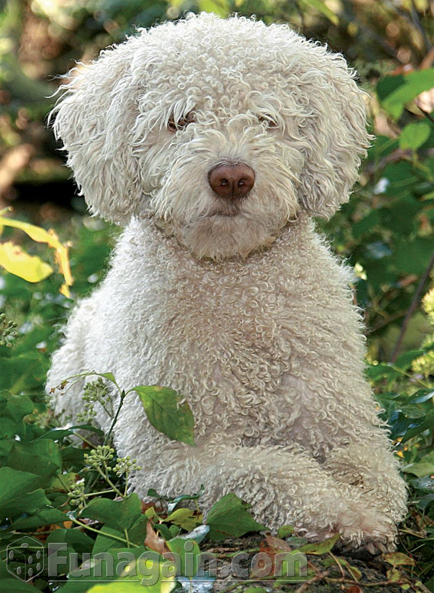 Spanish Water Dog: White Spanish Water Dog Breed