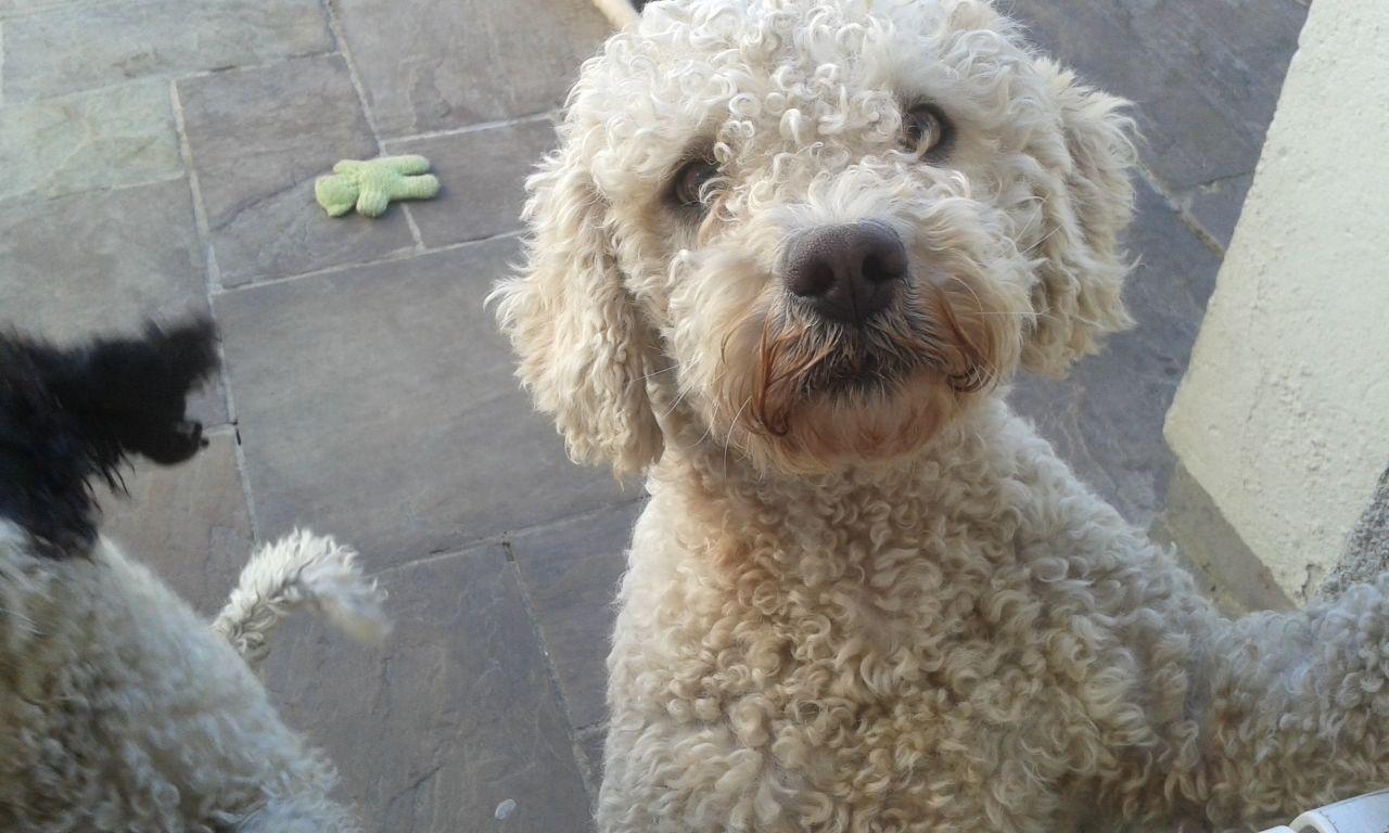 Spanish Water Dog: White Spanish Water Dog Crook Breed