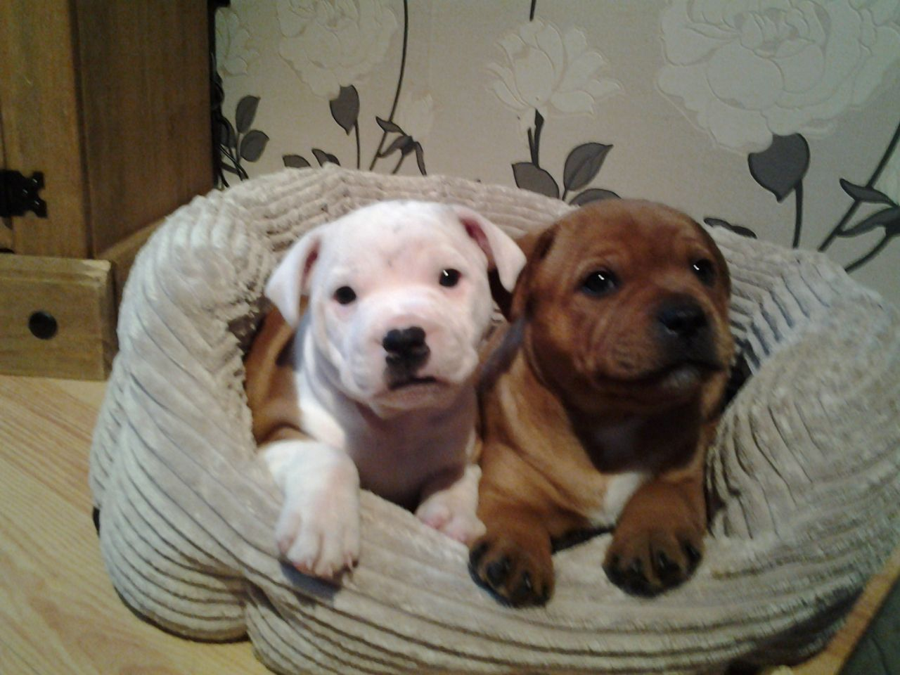 Staffordshire Bull Terrier Puppies: White Staffordshire Bull Terrier Puppies Breed