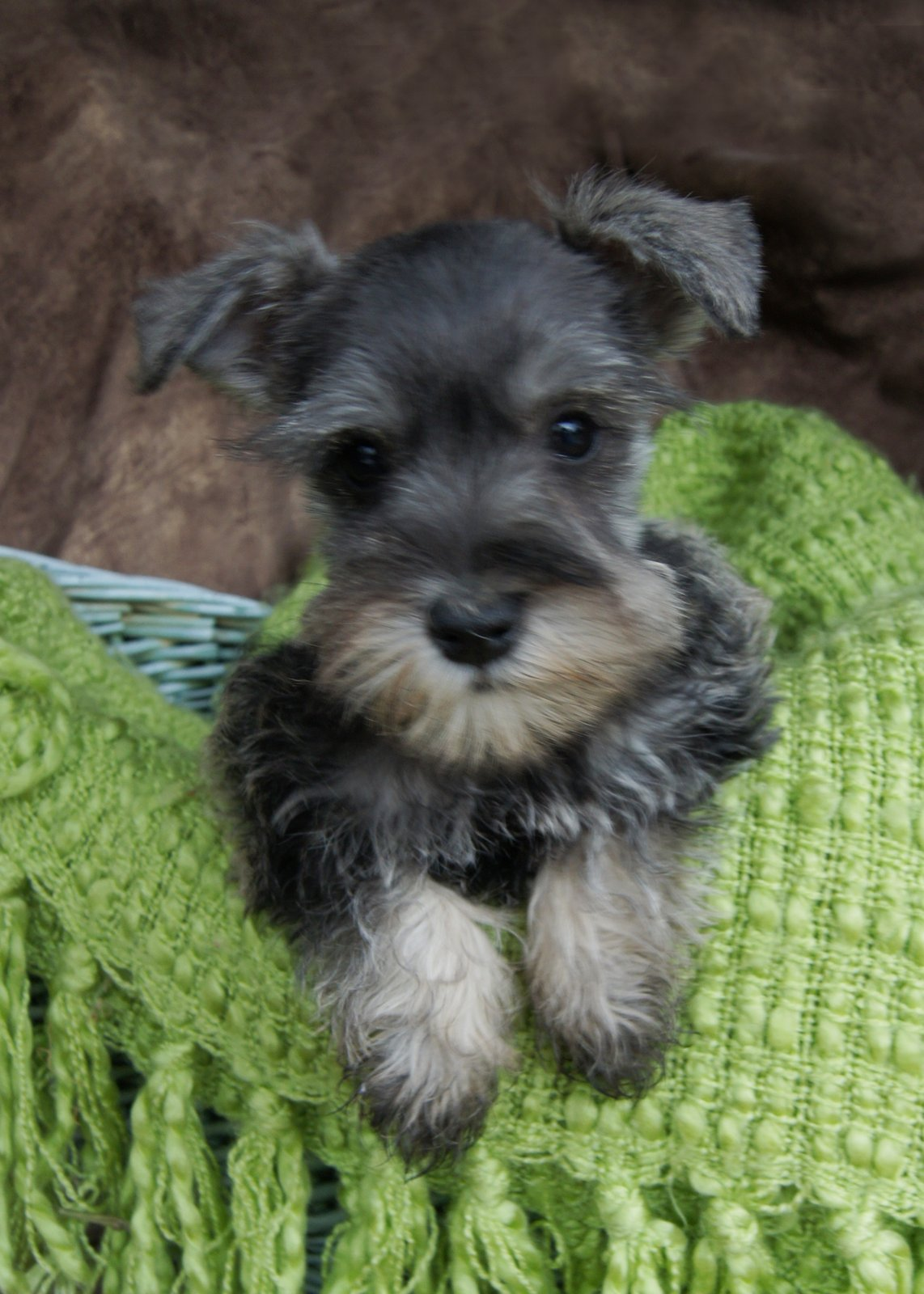 Standard Schnauzer Puppies: White Standard Schnauzer Puppies Breed