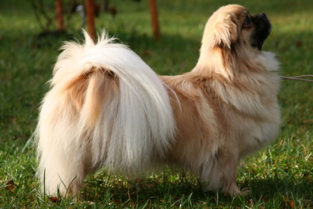 Tibetan Spaniel Puppies: White Tibetan Spaniel Puppies Breed