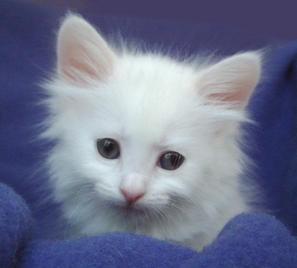 Turkish Angora Kitten: White Turkish Angora Kittens Breed