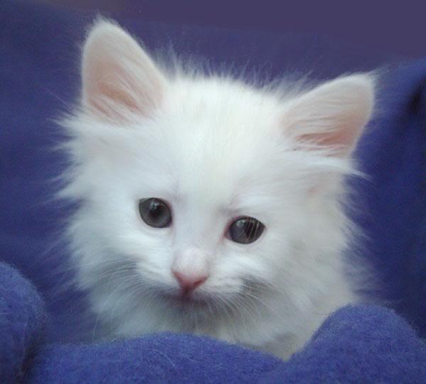 Turkish Angora Kitten: White Turkish Angora Kittens Breed