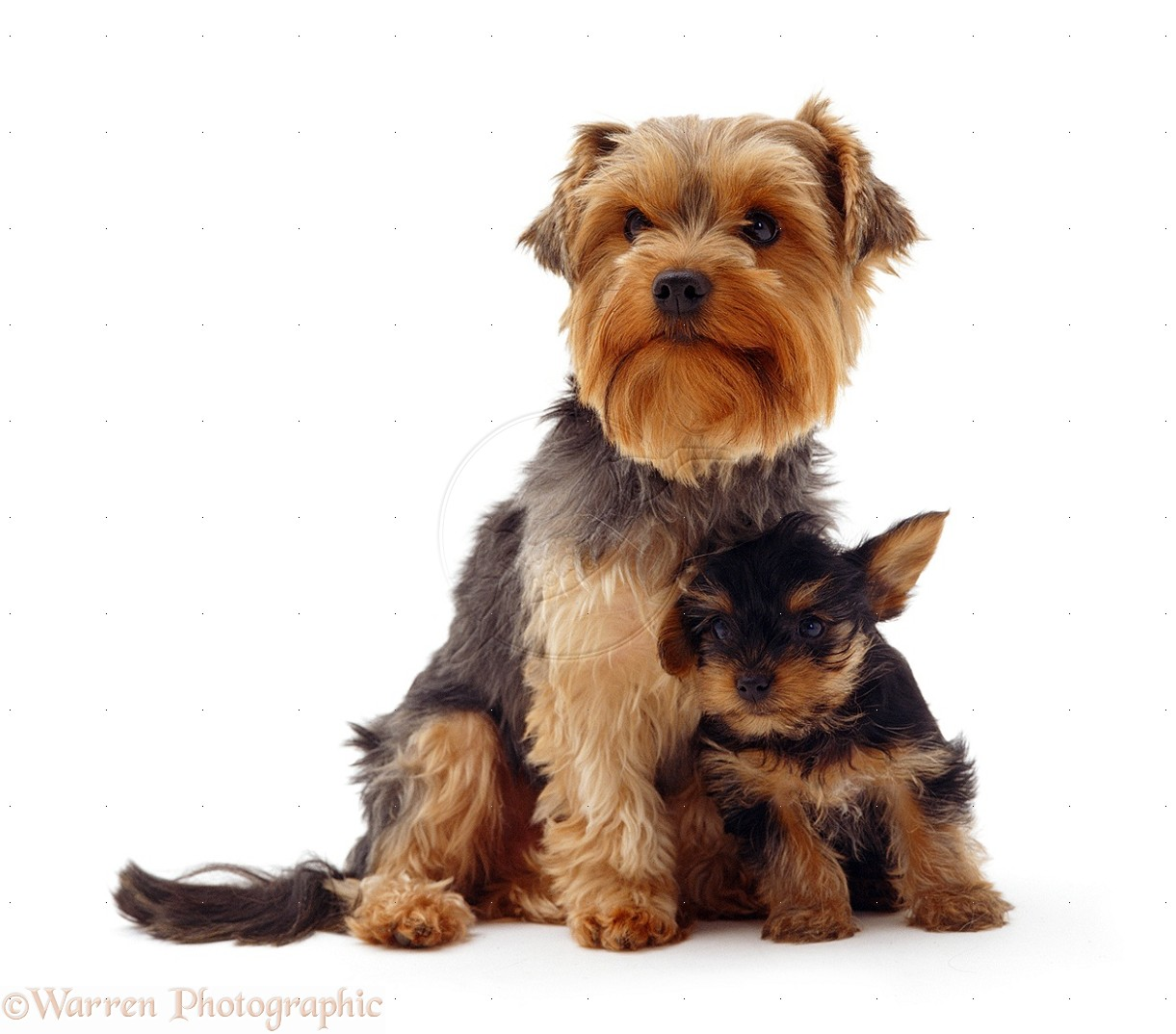 Yorkshire Terrier Dog: Yorkshire Yorkshire Terrier Dogs For S Breed