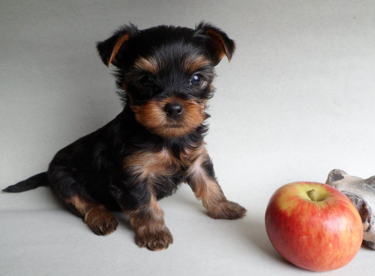 Yorkshire Terrier Puppies: Yorkshire Yorkshire Terrier Puppies Radstock Breed